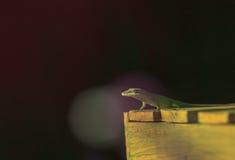 Green anole, Anolis carolinensis Stock Photo