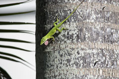 Green Anole. Green or Carolina Anole Anolis carolinensis on a palm tree trunk showing its bright green dewlap Royalty Free Stock Image