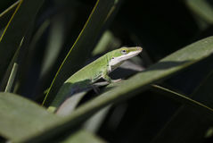 Green Anole Chameleon Lizard. Anolis carolinensis. Anolis, or anoles, is a genus of iguanian lizards belonging to the family Dactyloidae. Athens, Georgia, USA royalty free stock photo