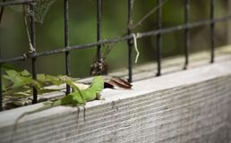 Green Anole Crawling On Fence stock image