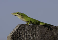 Green Anole of Fence Royalty Free Stock Photo