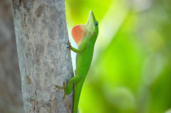 Green Anole in the Florida Keys Stock Photography