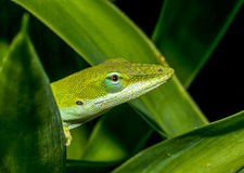 Green Anole. A Green Anole among leaves stock photo