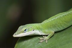 Green Anole Lizard. A closeup of a green anole lizard stock photography