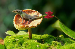 Green anole lizard. A green anole lizard, also called the American Chameleon, on a small mushroom in Hot Springs National Park, Arkansas Royalty Free Stock Image