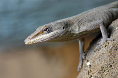 Green Anole Lizard. Close-up of a Green Anole Lizard (Anolis Carolinensis Royalty Free Stock Image