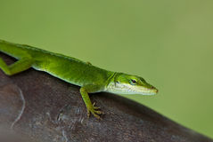 Green Anole Lizard Stock Image