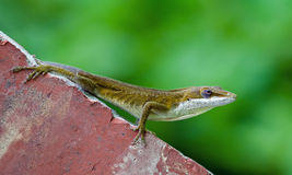 Green Anole lizard Stock Photography