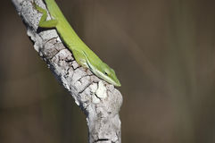 Green Anole Lizard Stock Photo
