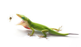 Free Green Anole Lizard About To Eat A Garden Spider Stock Photos - 54153203