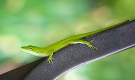 Green Anole lizard Anolis carolinensis. Crawling on an iron bench in the garden. Natural green background with copy space stock image