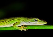 Anole lizard on a plant stem at night. royalty free stock image