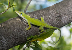 Green Anole. Lizard (Anolis carolinensis) in a natural environment royalty free stock photo