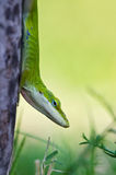 Green Anole lizard Royalty Free Stock Photography
