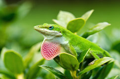 Green Anole lizard (Anolis carolinensis). Showing off his bright pink dewlap Royalty Free Stock Photography
