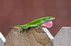 Green Anole lizard (Anolis carolinensis). Showing off his bright pink dewlap on the fence stock image