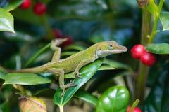 Green Anole lizard Anolis carolinensis. Young Green Anole lizard Anolis carolinensis hiding in the garden shrubs royalty free stock image