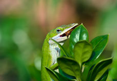 Green Anole lizard eating an insect Stock Photos