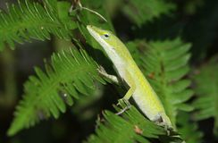 Green Anole lizard. On ferns in Florida royalty free stock photo