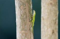 Green Anole lizard, Georgia USA. Common Carolina Green Anole lizard, chameleon, climbing a crepe myrtle tree branch. The Carolina anole Anolis carolinensis is an stock photos