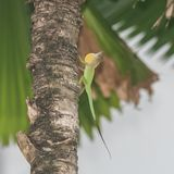 Green anole, lizard royalty free stock photos