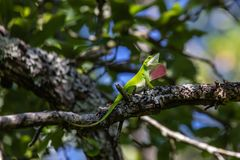 Green anole lizard resting on a tree limb. In Balcones Canyonlands, Anolis carolinensis royalty free stock photos