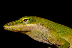 Green Anole Lizard silhouetted against black background Stock Image