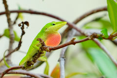 Green Anole Lizard on tree. Green Anole Lizard with a pink dewlap on a tree Royalty Free Stock Photography