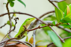 Green Anole Lizard on tree. Green Anole Lizard with a pink dewlap on a tree Royalty Free Stock Images