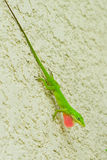 Green Anole Lizard on wall. Green Anole Lizard with a pink dewlap on a wall Stock Photos