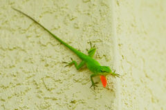 Green Anole Lizard on wall. Green Anole Lizard with a pink dewlap on a wall Stock Photography