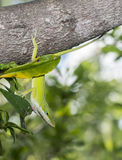 Green Anole Stock Photos