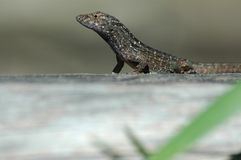Green anole looking Stock Photo