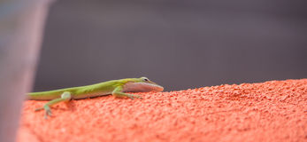 Green Anole on red wall Stock Photo