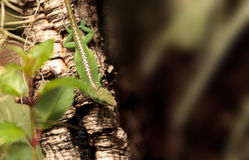Green anole scientifically known as Anolis Carolinensis Royalty Free Stock Images