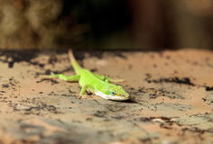 Green anole scientifically known as Anolis Carolinensis Stock Photo