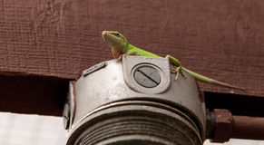 Green anole scientifically known as Anolis Carolinensis Royalty Free Stock Image