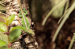Green anole scientifically known as Anolis Carolinensis Stock Photography