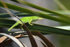 Green anole in the sunshine. Green lizard is sitting on a leaf, in the sunshine, making its colors even more vivid stock photos