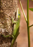 Green Anole Stock Photography
