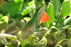 Green Anoles royalty free stock photos