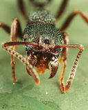 Green ant. With mandible wide open Stock Image