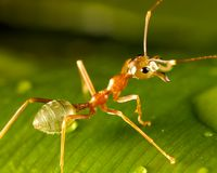Green ant. A green ant sitting on a leaf Stock Images