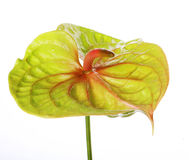 Green Anthurium Stock Images