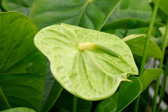 Green anthurium Stock Photo