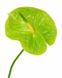 Green anthurium (Flamingo flower; Boy flower) isolated on white Royalty Free Stock Image