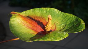 Green Anthurium Flower 1 Royalty Free Stock Images