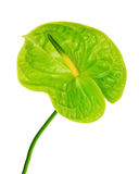 Green anthurium isolated on white background. Royalty Free Stock Images
