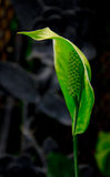 Green Anthurium Plant. A detail of a tropical green plant from Western Ecuador and Peru (Anthurium barclayanum Stock Photos