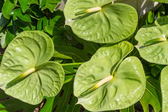 Green Anthurium Tropical Flower Stock Photos